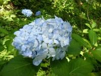 2019-07-13一関市舞川 紫陽花園017