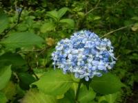 2019-07-13一関市舞川 紫陽花園018
