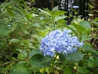 2019-07-13一関市舞川 紫陽花園020