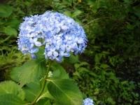 2019-07-13一関市舞川 紫陽花園021