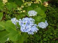 2019-07-13一関市舞川 紫陽花園022