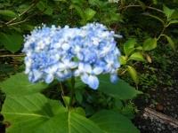 2019-07-13一関市舞川 紫陽花園023