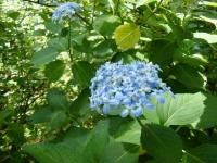 2019-07-13一関市舞川 紫陽花園024