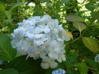 2019-07-13一関市舞川 紫陽花園025