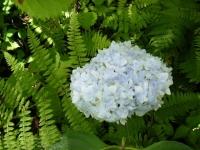 2019-07-13一関市舞川 紫陽花園026