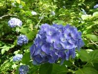 2019-07-13一関市舞川 紫陽花園030