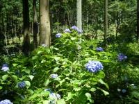 2019-07-13一関市舞川 紫陽花園031