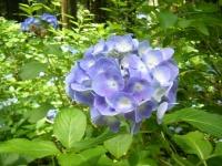 2019-07-13一関市舞川 紫陽花園032