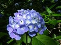 2019-07-13一関市舞川 紫陽花園034
