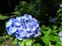 2019-07-13一関市舞川 紫陽花園035
