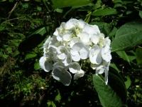 2019-07-13一関市舞川 紫陽花園036