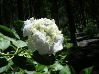 2019-07-13一関市舞川 紫陽花園037