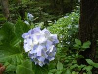 2019-07-13一関市舞川 紫陽花園047