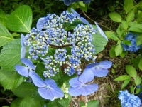 2019-07-13一関市舞川 紫陽花園059
