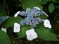 2019-07-13一関市舞川 紫陽花園050