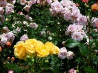 2019-06-23花巻温泉薔薇園087