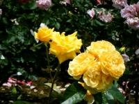 2019-06-23花巻温泉薔薇園088