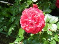 2019-06-23花巻温泉薔薇園090
