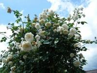 2019-06-23花巻温泉薔薇園092