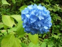 2019-07-13一関市舞川 紫陽花園077