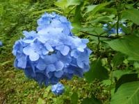 2019-07-13一関市舞川 紫陽花園078