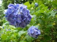 2019-07-13一関市舞川 紫陽花園081