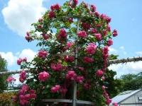 2019-06-23花巻温泉薔薇園109