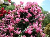 2019-06-23花巻温泉薔薇園111