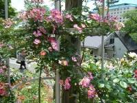 2019-06-23花巻温泉薔薇園115