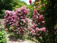 2019-06-23花巻温泉薔薇園119