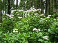 2019-07-13一関市舞川 紫陽花園097