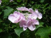2019-07-13一関市舞川 紫陽花園099