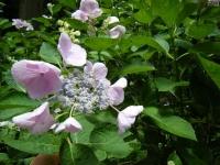 2019-07-13一関市舞川 紫陽花園101