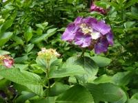 2019-07-13一関市舞川 紫陽花園102