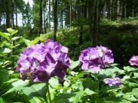 2019-07-13一関市舞川 紫陽花園103