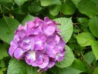 2019-07-13一関市舞川 紫陽花園104