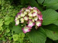 2019-07-13一関市舞川 紫陽花園106