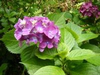 2019-07-13一関市舞川 紫陽花園107