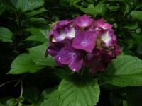 2019-07-13一関市舞川 紫陽花園108