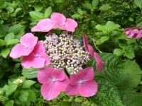 2019-07-13一関市舞川 紫陽花園109