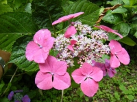 2019-07-13一関市舞川 紫陽花園110
