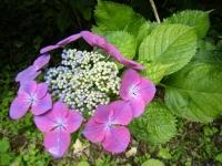 2019-07-13一関市舞川 紫陽花園112