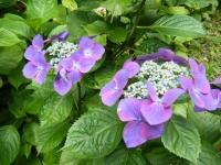 2019-07-13一関市舞川 紫陽花園116
