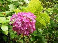 2019-07-13一関市舞川 紫陽花園117