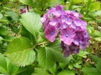 2019-07-13一関市舞川 紫陽花園118