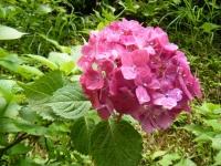 2019-07-13一関市舞川 紫陽花園119