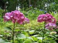 2019-07-13一関市舞川 紫陽花園120