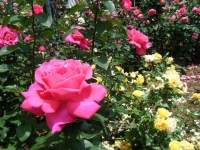 2019-06-23花巻温泉薔薇園133