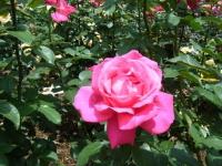 2019-06-23花巻温泉薔薇園134