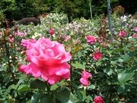 2019-06-23花巻温泉薔薇園135
